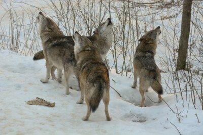 Fototapeta Howling vlky