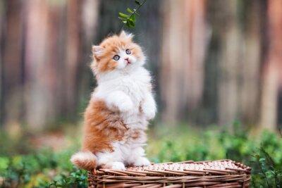 Fototapeta hravý načechraný kotě v lese