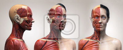 Fototapeta Human body anatomy muscles structure of a female, front view side view and perspective view, 3d render