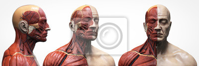 Fototapeta Human body anatomy muscles structure of a male, front view  side view and perspective , 3d render