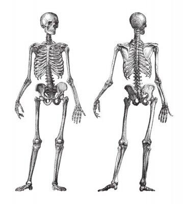 Fototapeta Human skeleton front and back view / vintage illustration from Brockhaus Konversations-Lexikon 1908