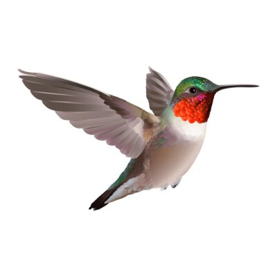Fototapeta Hummingbird - Colubris archilocus. Ručně malovaná vektorové ilustrace na bílém pozadí letícího Ruby-troathed kolibřík s barevnými lesklé peří.