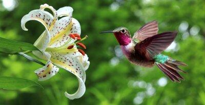Fototapeta Hummingbird vznášející se vedle květy lilie panoramatický výhled
