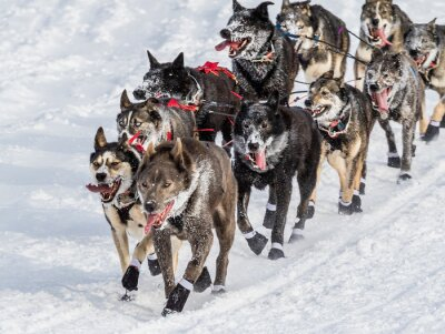 Fototapeta Iditarod sáňkovat psi