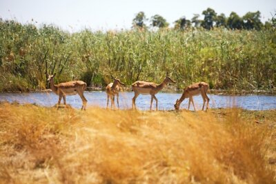 Fototapeta Impala, Aepyceros melampus, Národní park Bwabwata, Namibie