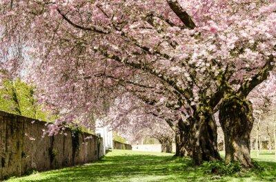 Fototapeta Jarní Dream: Japonský třešňové květy :)