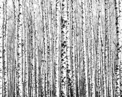 Fototapeta Jarní kmeny bříz černá a bílá