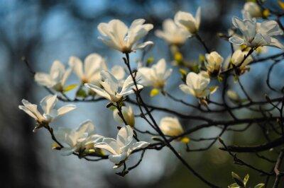 Fototapeta Jarní strom květiny, magnólie