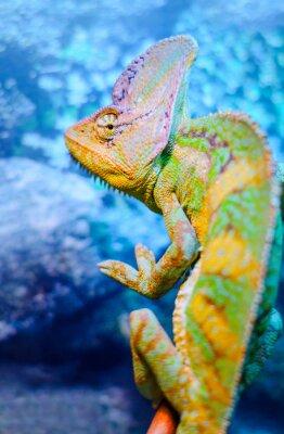 Fototapeta Jeden zelený chameleon
