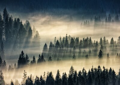 Fototapeta jehličnatý les v mlze horách