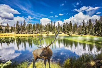Fototapeta Jelen s rozvětvená rohy stojí na okouzlujícím jezeře
