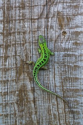 Fototapeta ještěrka na pozadí dřevěných prken