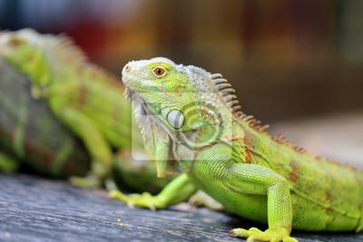 Fototapeta ještěrka zelená iguana