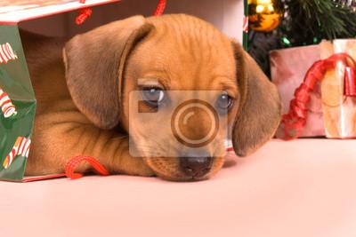 Jezevčík štěně fototapeta • fototapety jezevec 55aa1bdb3c