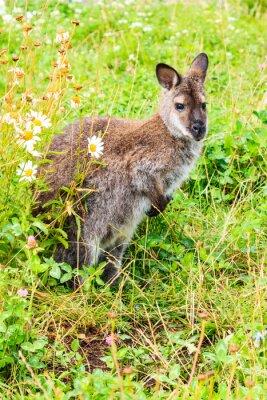 Fototapeta Kanguroo