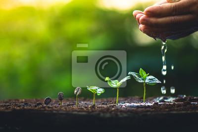 Fototapeta Kávová zrna rostou Kávový strom rostlin Ruční péče a zalévání stromů Večerní světlo v přírodě