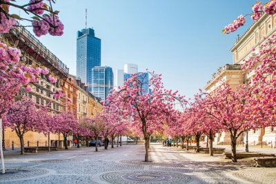 Fototapeta Kirschbaumblüte ve Frankfurtu nad Mohanem, Deutschland