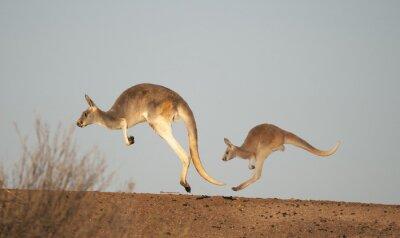 Fototapeta klokani v národním parku Sturt, New South Wales, Australia