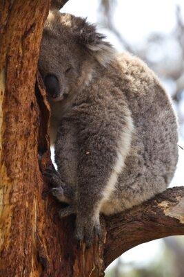 Fototapeta Koala spí v průběhu dne