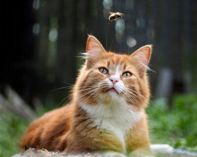 Fototapeta Kočka se dívá letu čmeláka. Kočka velké, červené a načechraný. Koncepčně - zvířata rekreaci ve volné přírodě. Kočka loví hmyz. Štípnutí hmyzem a alergie u zvířat