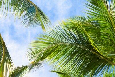 Fototapeta Kokosové palmy listy stromů