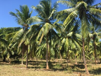 Fototapeta Kokosové stromy