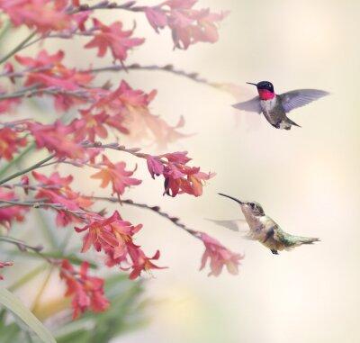 Fototapeta Kolibříci a Červené květiny