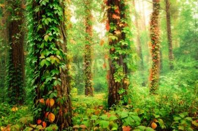 Fototapeta Kouzelný les s kmeny twined barevné lezení divokých hroznů