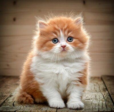 Fototapeta Krásná britská dlouhé vlasy kotě