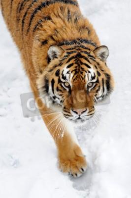 Fototapeta Krásná divoký sibiřský tygr na sněhu