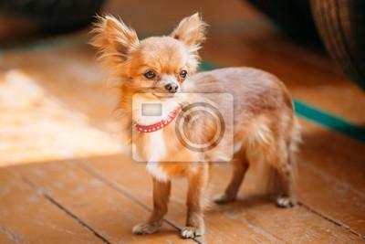 6225212da27 Fototapeta  Krásná mladá red hnědé a bílé tiny chihuahua pes pobyt