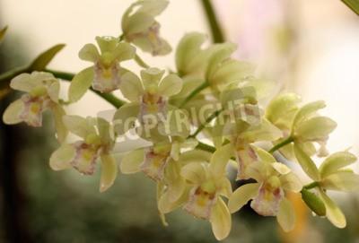 Fototapeta Krásná orchidej v Thajsku