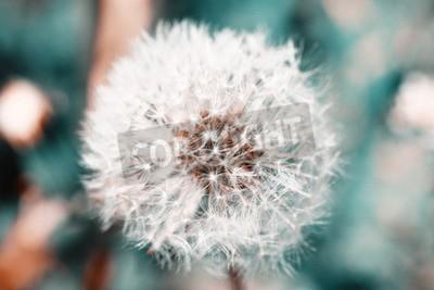 Fototapeta Krásná pampeliška se semeny, close-up