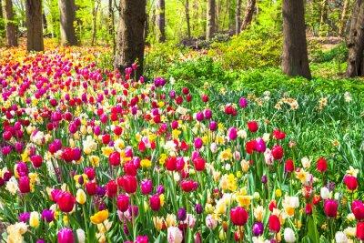 Fototapeta Krásná zahrada s kvetoucí živé tulipány v Keukenhof parku, Holandsko