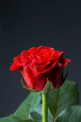Fototapeta Krásné červené růže