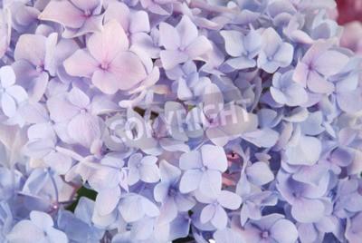 Fototapeta Krásné fialové hortenzie květina pozadí. Přirozená barva.