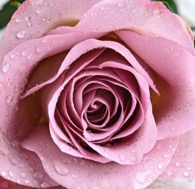 Fototapeta Krásné fialové růže
