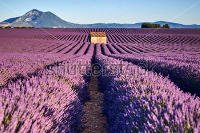 Fototapeta Krásné levandulové pole a starý dům v provence