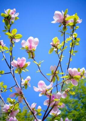 Fototapeta Krásné Pink Magnolia Květiny na modrém pozadí oblohy. Jaro květinové Image