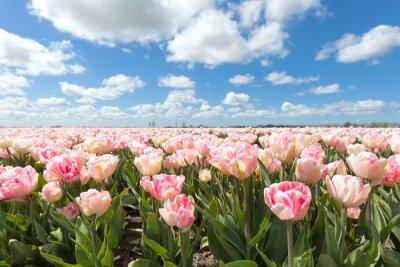 Fototapeta krásné růžové pole tulipánů v slunečný den