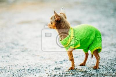 a041608e822 Fototapeta  Krásné tiny chihuahua pes oblečený v outfit