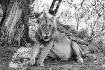 Fototapeta krásný lev