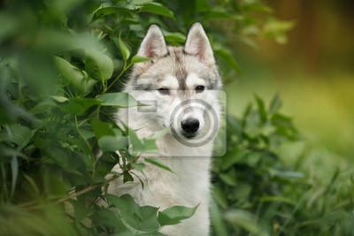 Krásný portrét sibiřského husky pes na zelené trávě fototapeta ... 638de3f9bf