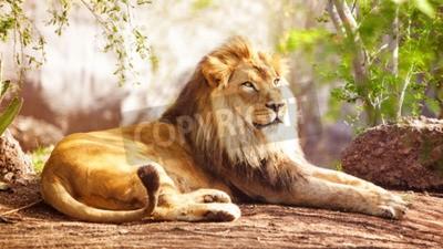 Fototapeta Krásný velký africký lev, kterým se stanoví s stromy v pozadí