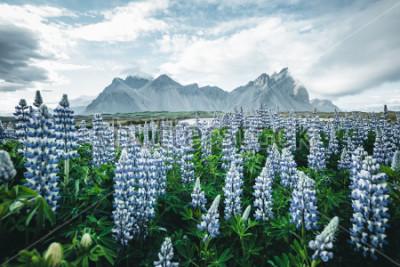 Fototapeta Krásný výhled na dokonalé květiny lupinu za slunečného dne. Umístění Stokksnes cape, Vestrahorn (Mount Batman), Ostrov, Evropa. Úžasný obraz letní přírody. Objevte krásu země.