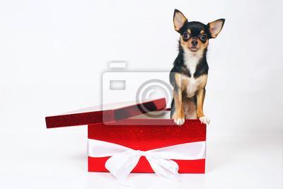 20aecc7ec25 Fototapeta Krátkosrstý tricolor Chihuahua pes představuje uvnitř ve velké  červené dárkové krabici na bílém pozadí