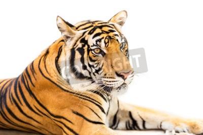 Fototapeta Krčící se mladý sibiřský tygr na bílém pozadí