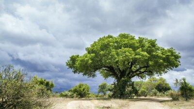 Fototapeta Krugerův národní park krajina, Jižní Afrika