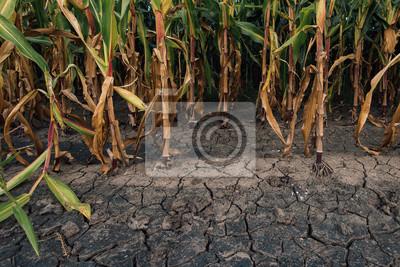 Fototapeta Kukuřičná pole a suchá mátlá země
