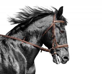 Fototapeta Kůň portrét v černé a bílé v hnědém uzdě